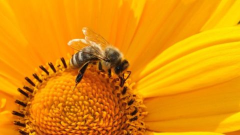 Can Agnihotra Save the Honeybee?